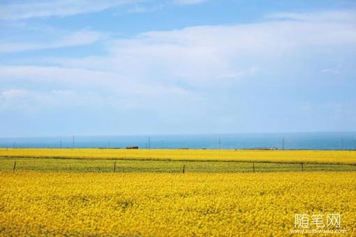 7月金灿灿的青海油菜花唯美风光摄影图片
