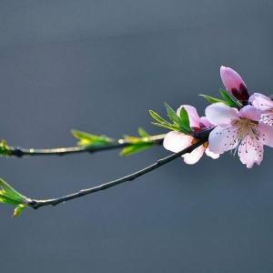 桃花朵朵,看一季姹紫嫣红